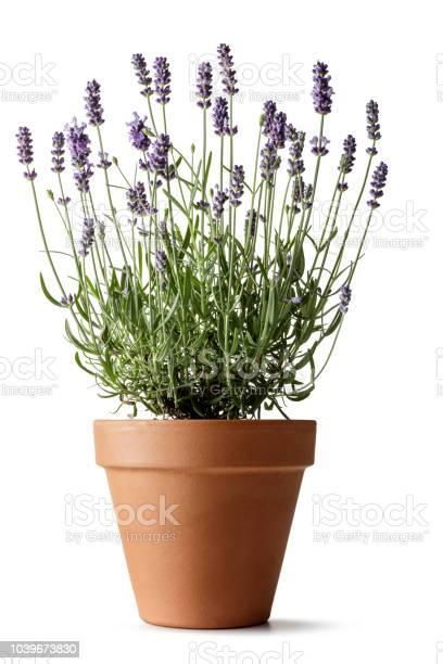 Bloemen Lavendel Geïsoleerd Op Witte Achtergrond Stockfoto en meer beelden van Aromatherapie
