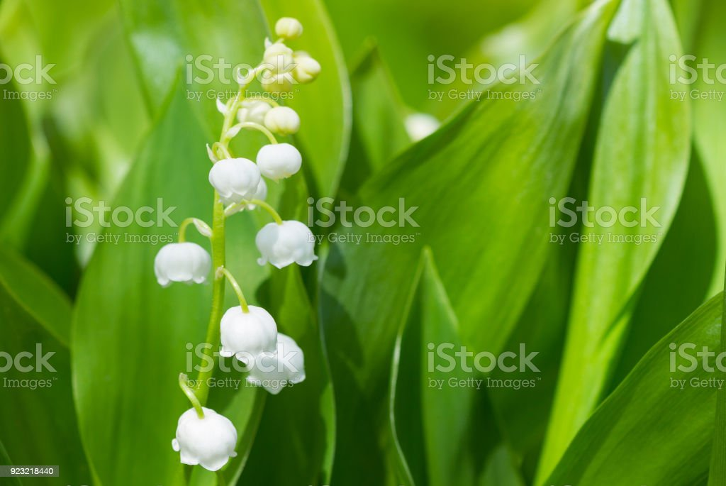 Spring flowers Lilies of the valley blossom
