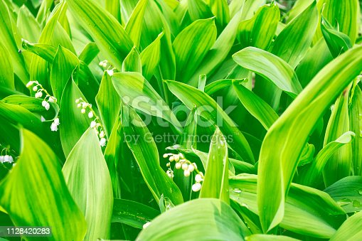 istock flowers lily of the valley 1128420283