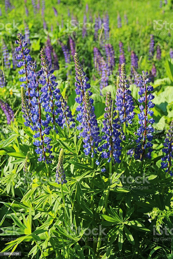 Flowers lupine, Central Russia royalty-free stock photo