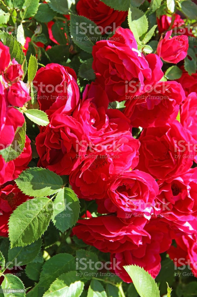 Flowers - many blooming red roses bunched together on a rose bush....