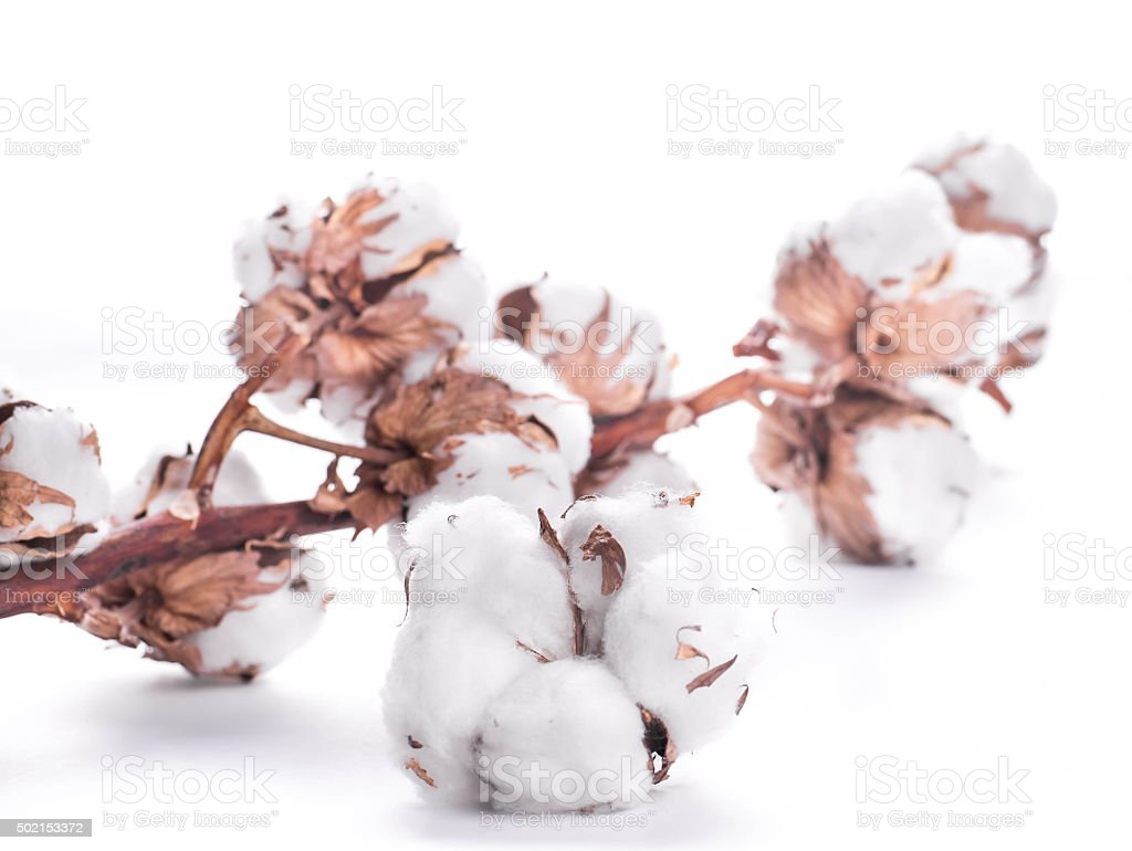 Flowers mature cotton stock photo