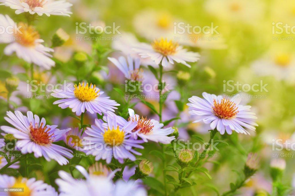 Flowers Michaelmas Daisy stock photo