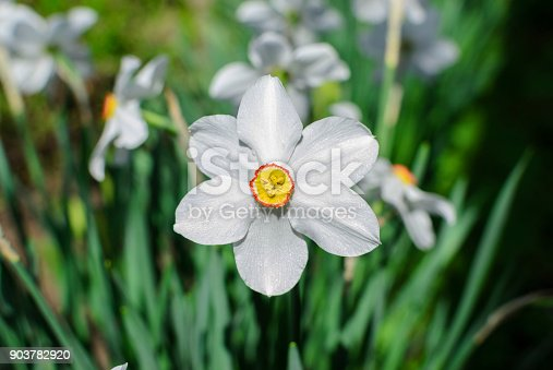 639245704 istock photo Flowers narcissus white macro photo 903782920