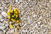 Flowers near Rifugio Auronzo under the Tre Cime of Lavaredo Group in the sexten Dolomites.National Park,European Alps, Italy,Nikon D850