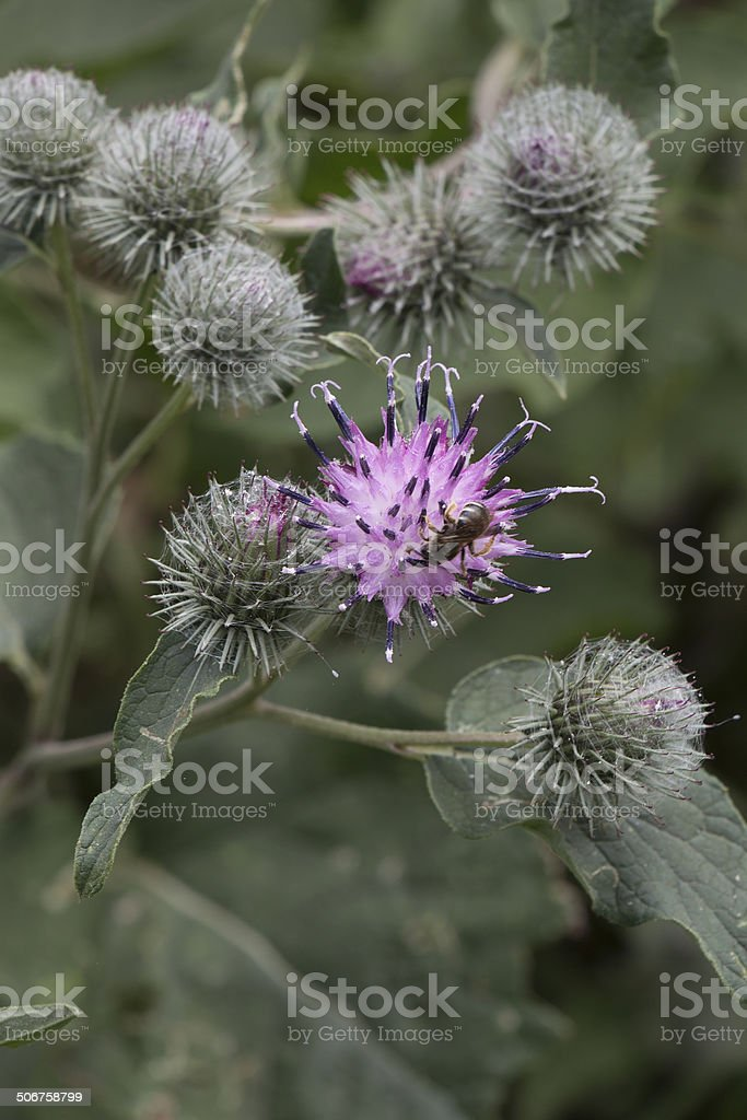 Flowers of a blossoming greater burdock royalty-free stock photo