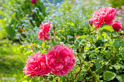 istock flowers of a blue forget me not, pink roses have flowering in a garden on flower bed 825173182