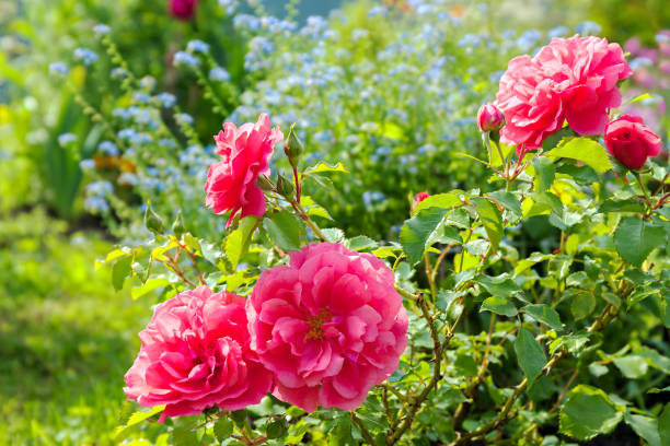 Flowers Of A Blue Forget Me Not Pink Roses Have Flowering In Garden On