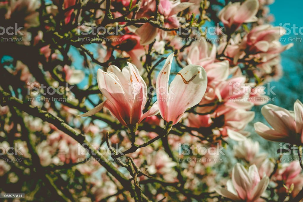 flowers of a magnolia. royalty-free stock photo