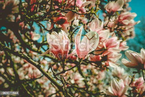 Flowers Of A Magnolia Stock Photo & More Pictures of Backgrounds