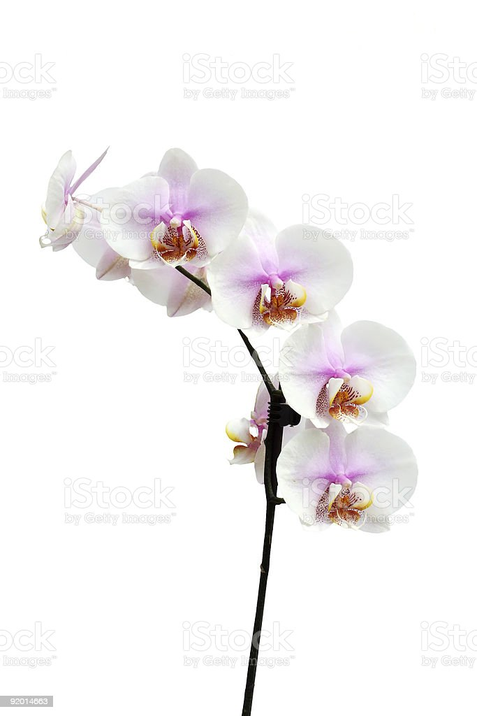 Flowers of a Phalaenopsis orchid hybrid vertical royalty-free stock photo