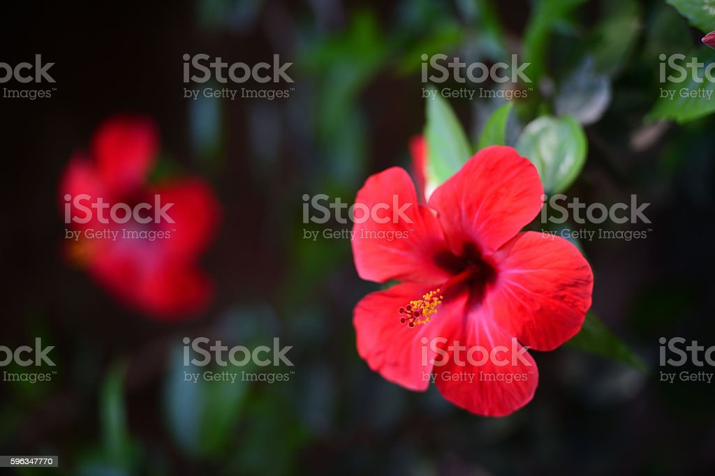 Flowers of a red hibiscus (chinese rose) Lizenzfreies stock-foto