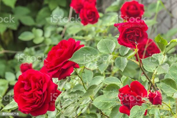 Flowers of a red rose in a flower garden closeup picture id822066718?b=1&k=6&m=822066718&s=612x612&h=5qjbn3tioylxsk6qa71je1idmxwaacwe5wyusknoiuc=