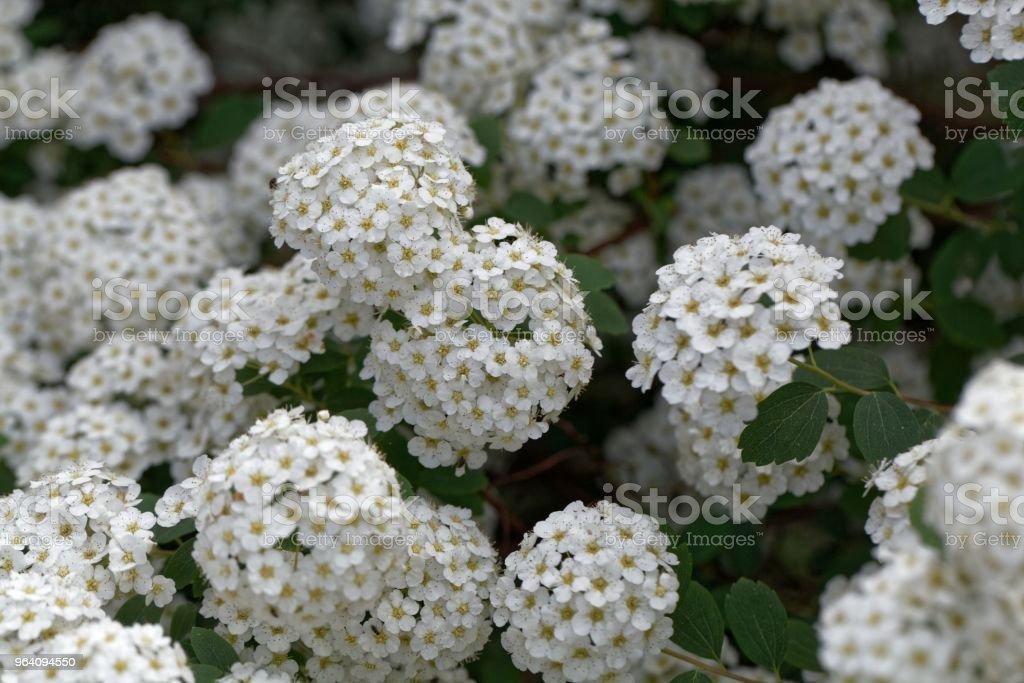 Flowers of a Spiraea vanhouttei - Royalty-free Beauty Stock Photo