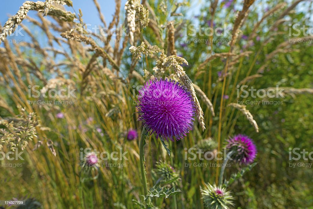 Flowers of a thistle in summer royalty-free stock photo