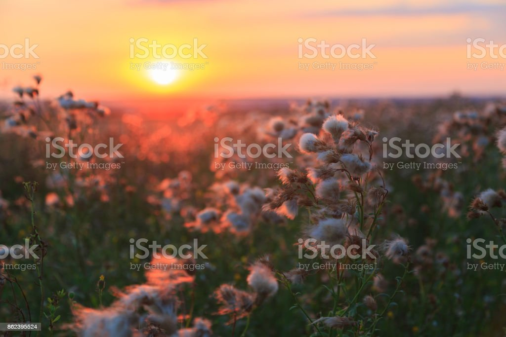Flowers of agrimony and meadow flowers on a background of colorful sunset in the summer stock photo