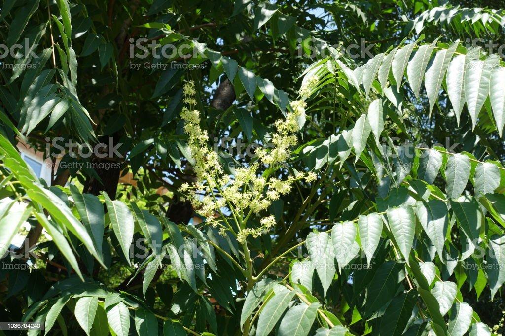 Blumen von GГ¶tterbaum Altissima Ende Juni – Foto