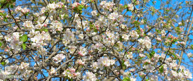 Flowers of an apple tree. Shallow depth of field. Focus on the front flowers. Wide photo