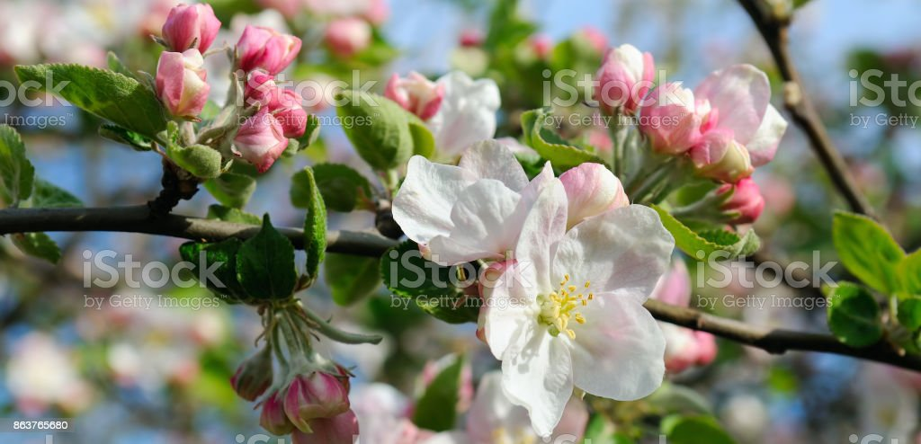 Flowers of an apple tree. Shallow depth of field. Focus on the front flowers. stock photo