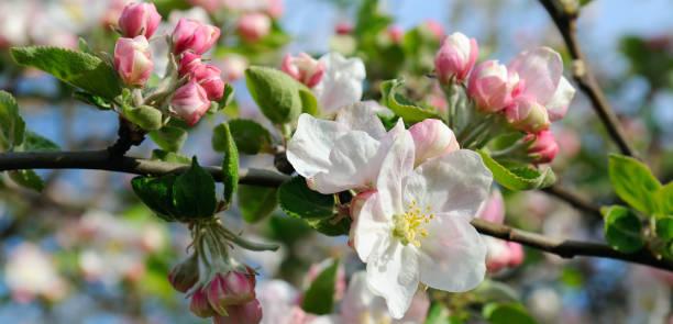 blommor av ett äppelträd. kort skärpedjup. fokusera på de främsta blommorna. - foderblad bildbanksfoton och bilder