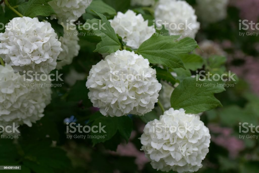 Flowers of an ornamental guelder-rose - Royalty-free Beauty Stock Photo