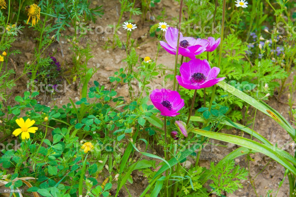 flowers of Anemone on field stock photo