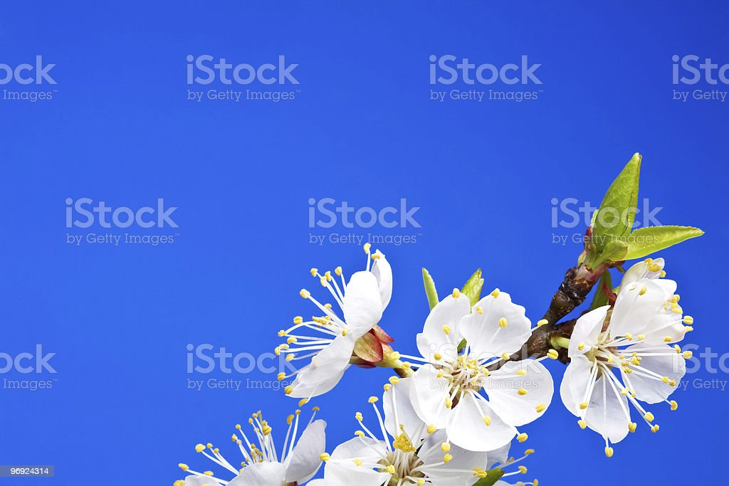 Flowers of apricot on a blue background royalty-free stock photo