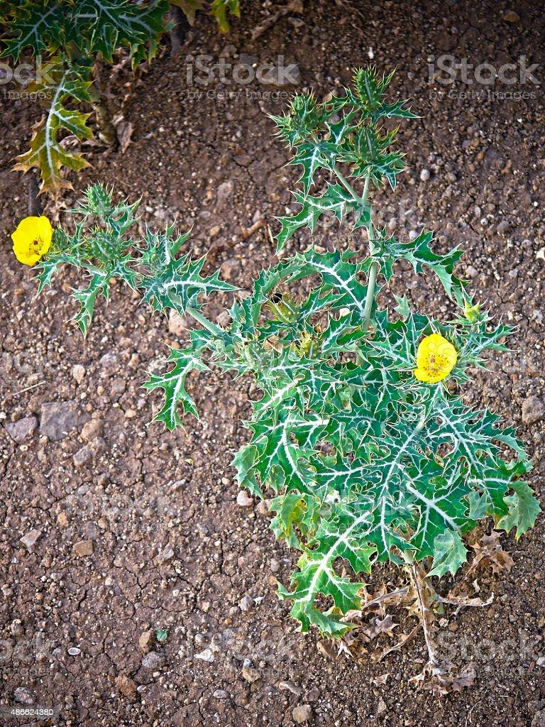 Flowers of Argemone mexicana L., Papaveraceae stock photo
