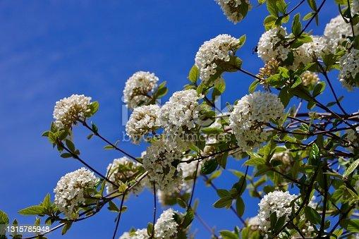 Viburnum carlesii, the arrowwood or Korean spice viburnum is a species of flowering plant in the family Adoxaceae (formerly Caprifoliaceae).