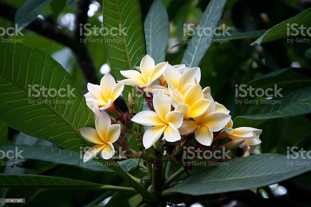 Flowers of Avocado (Persea Americana) stock photo