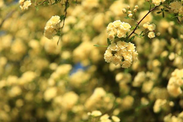 Flowers of banksia rose picture id684062798?b=1&k=6&m=684062798&s=612x612&w=0&h=egx eivs1qswqq jgmcjfy0hyzp7z3ld3d2iuxsf80y=