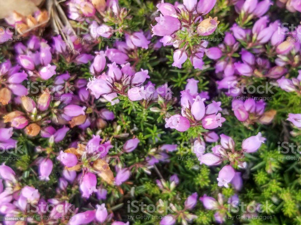 Flores de la planta de brezo de bell - foto de stock