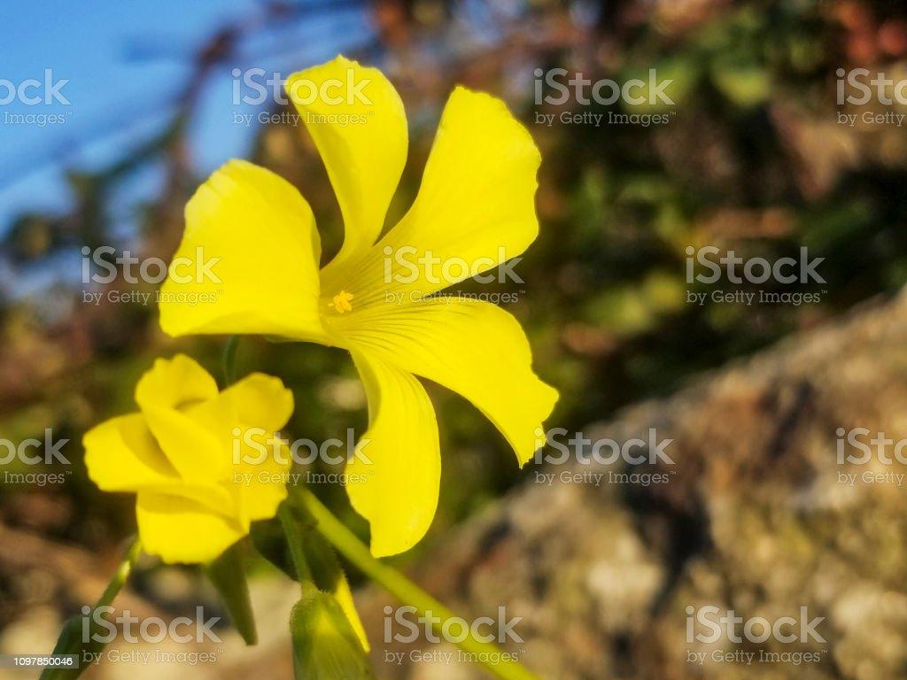 Flores de ranúnculo de Bermudas, agrillo o chuchamel - foto de stock