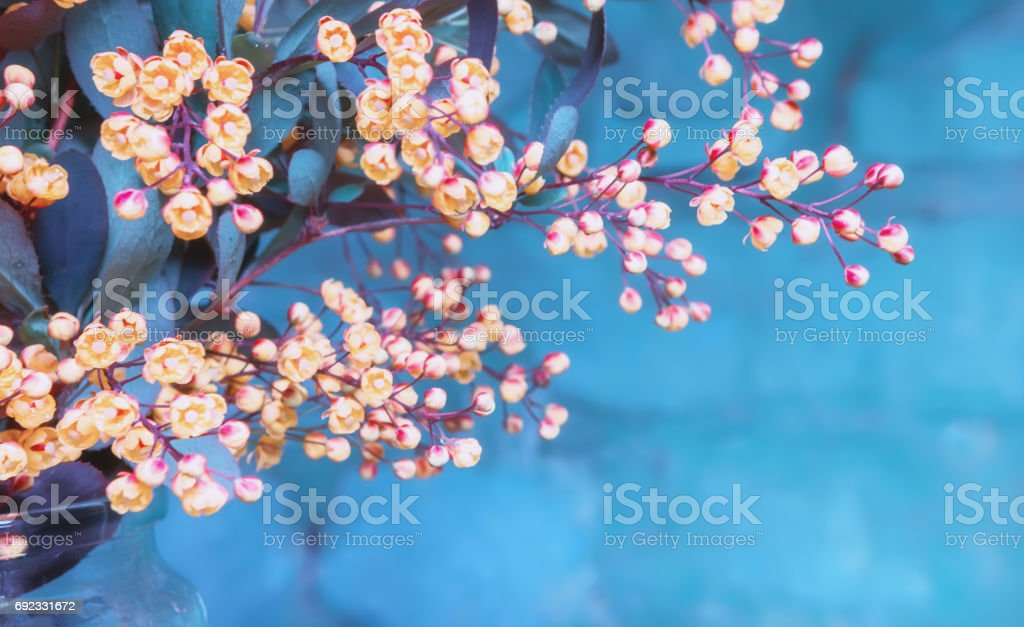 Flowers Of Blossoming Barberry stock photo