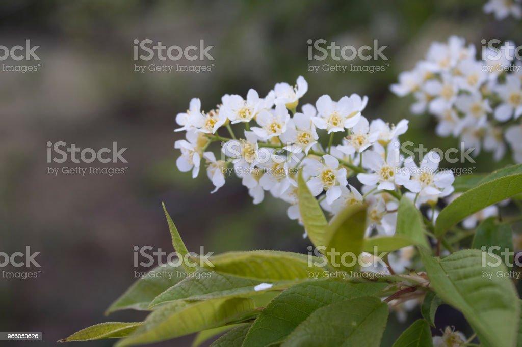 Blumen von blühenden Vogel-Kirsche (Prunus Padus) im Frühjahr Nahaufnahme mit einem Weichzeichner. - Lizenzfrei Agrarbetrieb Stock-Foto
