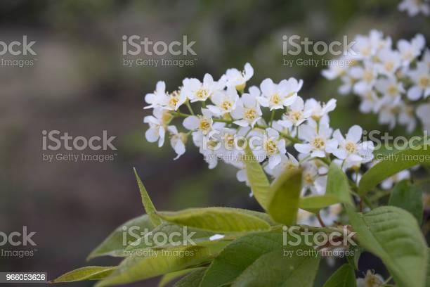 Blommor Av Blommande Fågelkörsbär I Fjäder Närbild Med En Mjuk Fokus-foton och fler bilder på Bildbakgrund