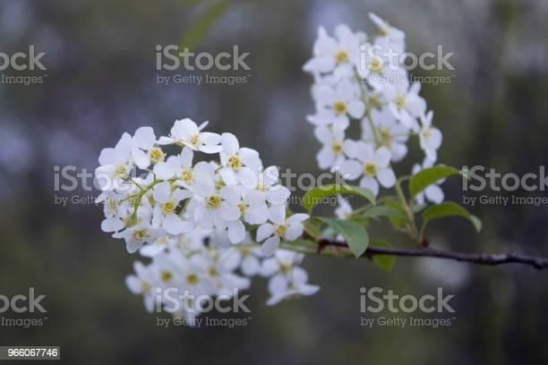 Цветы Цветущей Птицы Вишни Весной Крупным Планом С Мягким Фокусом — стоковые фотографии и другие картинки Без людей