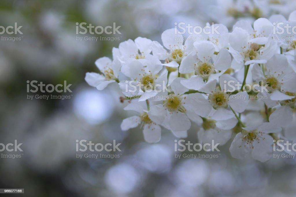 Flowers of blossoming bird-cherry (Prunus padus) in spring close-up with a soft focus. - Royalty-free Agriculture Stock Photo