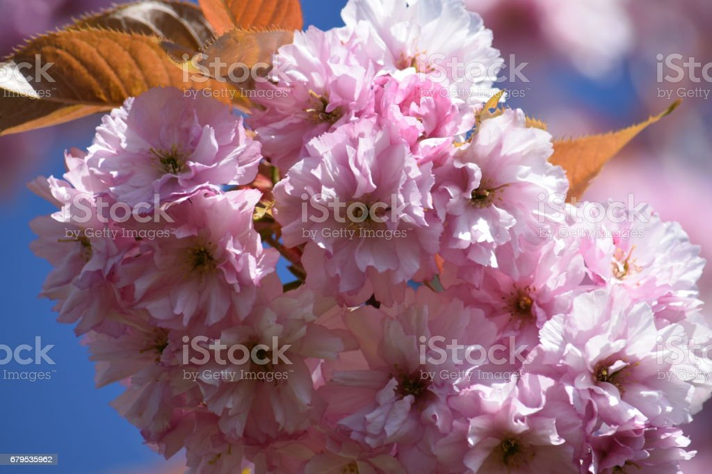 Flowers of blossoming cherry royalty-free stock photo