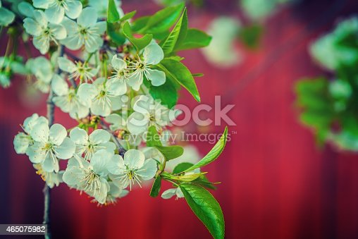 flowers of blossoming cherry tree floral background with copyspace instagram stile