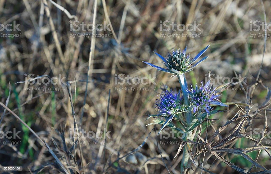 Flowers of blue thistle in Kamenjak in Croatia. stock photo