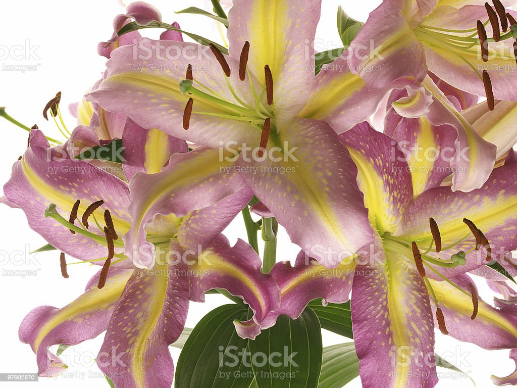 Flowers of bright lilies royalty-free stock photo