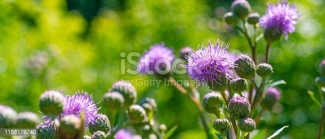 Flowers of burdock on a green background - panoramic cover, banner