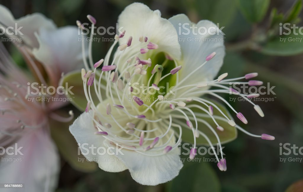 Flowers of capers on the Bush on the background of the earth. royalty-free stock photo