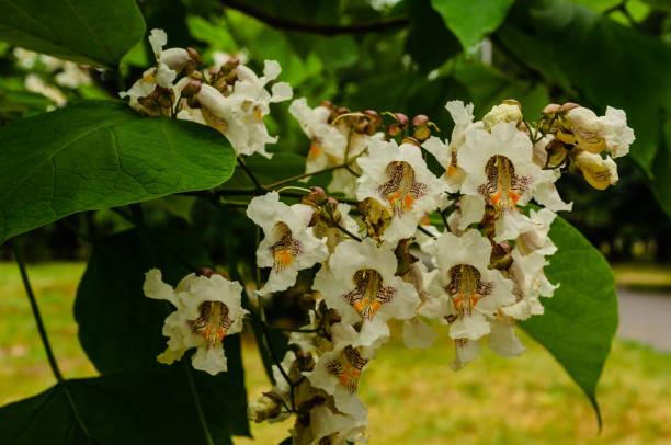 blüten von catalpa-baum auf sommer - trompetenbaum stock-fotos und bilder