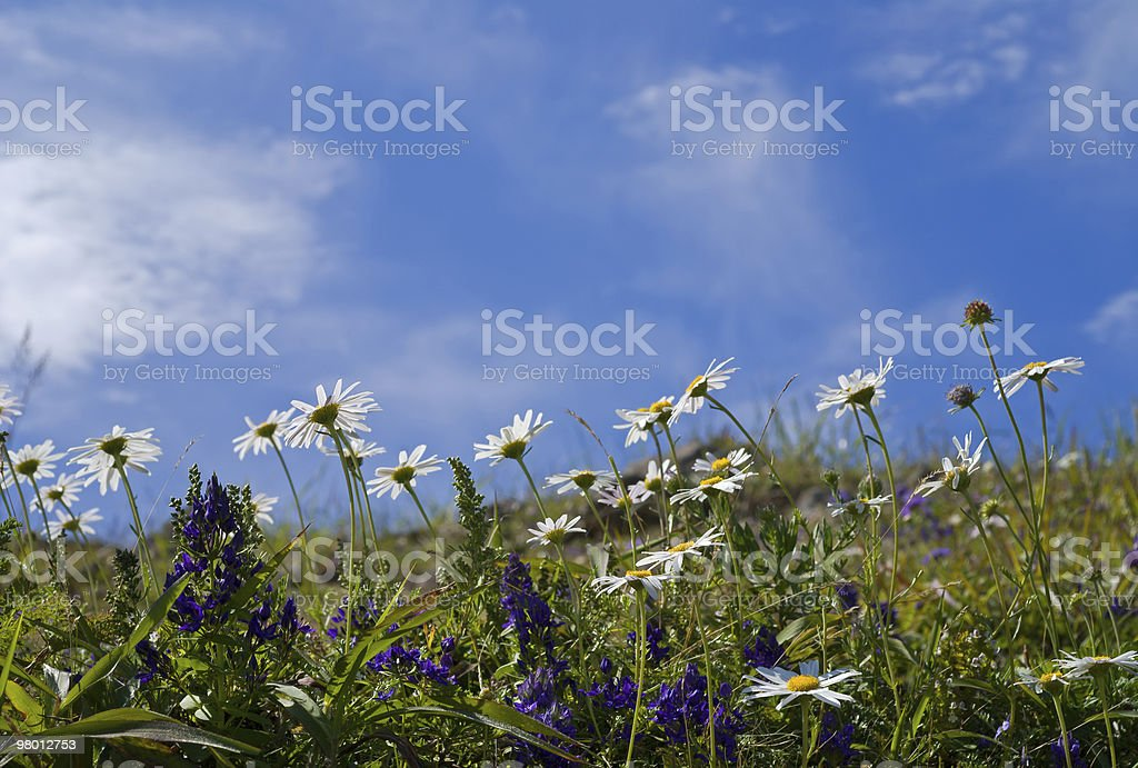 Flowers of chamomile and sky royalty-free stock photo