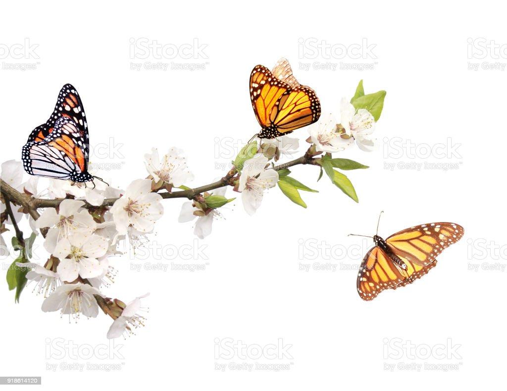 Fotografía de Flores De Cerezo Y Mariposas Monarca y más banco de ...