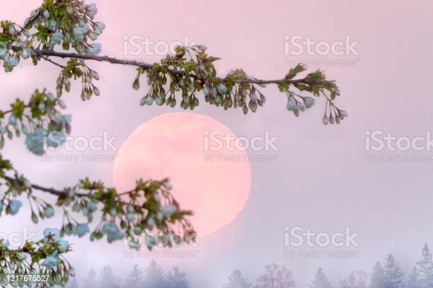 Photo of Flowers of cherry blossom tree with supermoon rise