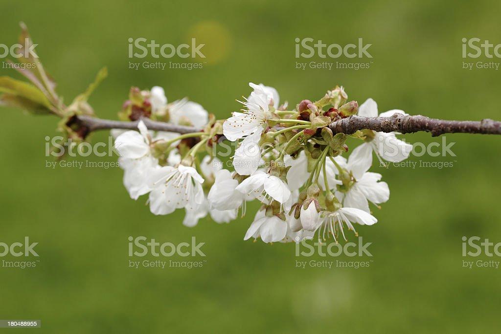 Flowers of cherry tree royalty-free stock photo