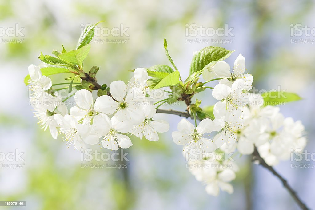 Flowers of cherry with leaflets on a tree. royalty-free stock photo
